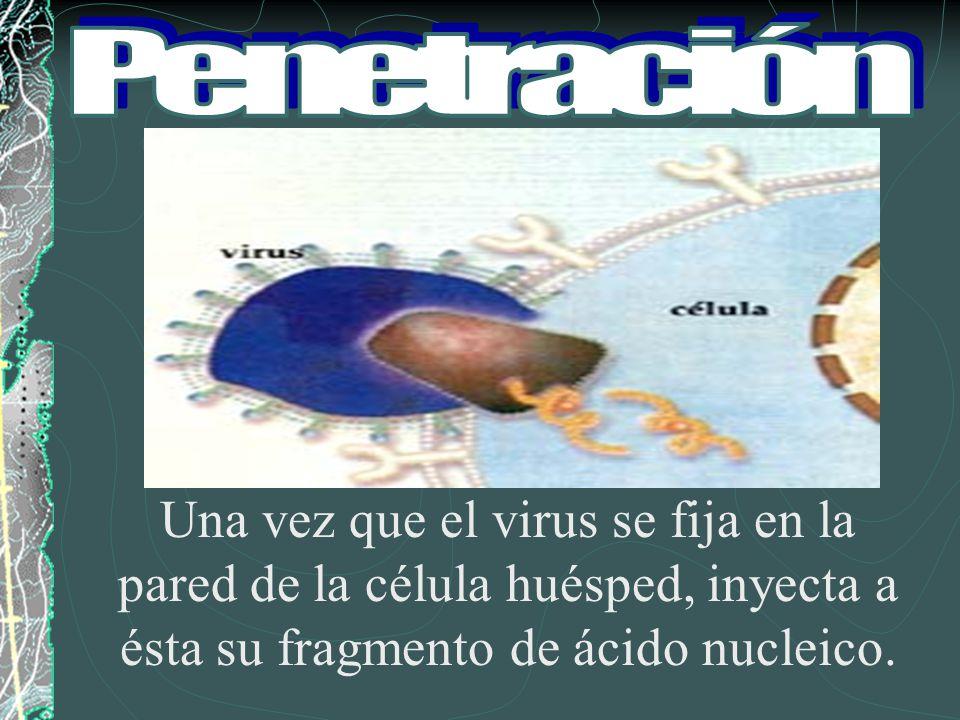 Una vez que el virus se fija en la pared de la célula huésped, inyecta a ésta su fragmento de ácido nucleico.