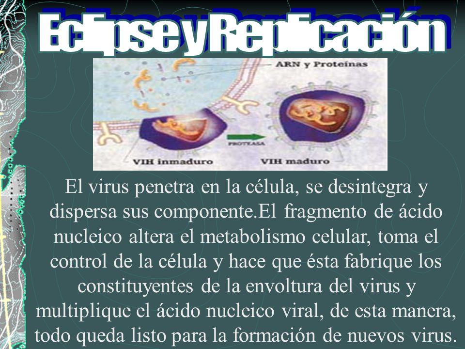 El virus penetra en la célula, se desintegra y dispersa sus componente.El fragmento de ácido nucleico altera el metabolismo celular, toma el control d