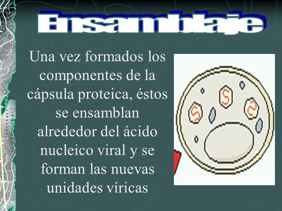 Una vez formados los componentes de la cápsula proteica, éstos se ensamblan alrededor del ácido nucleico viral y se forman las nuevas unidades víricas