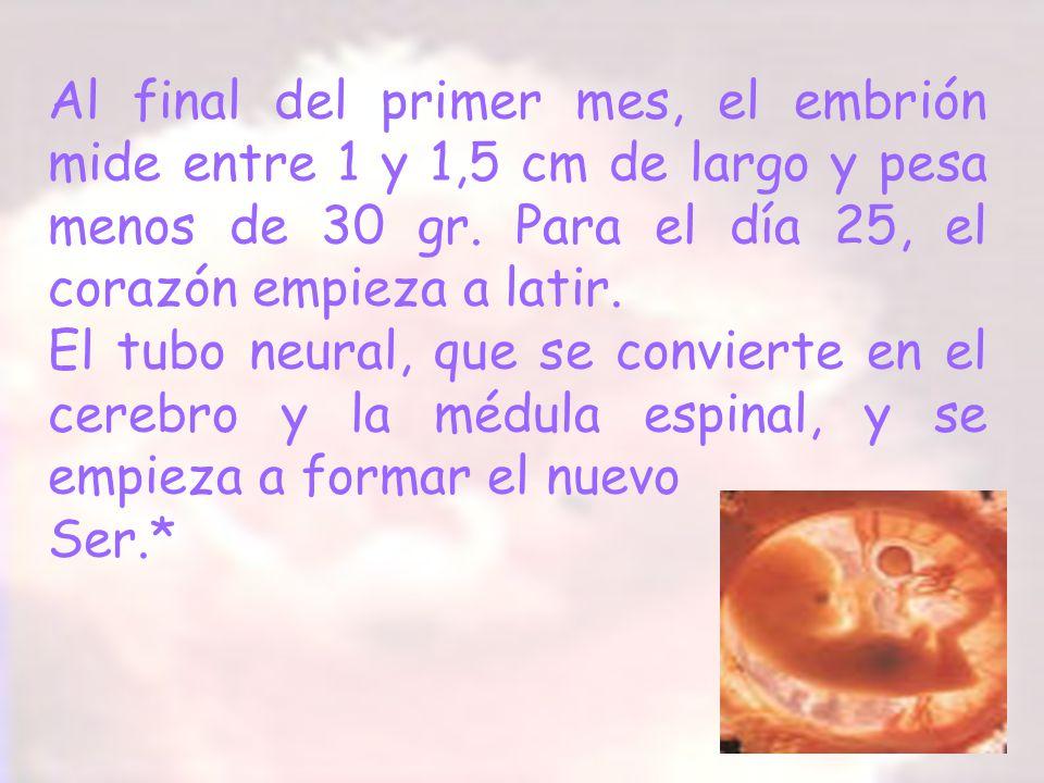 Al final del primer mes, el embrión mide entre 1 y 1,5 cm de largo y pesa menos de 30 gr. Para el día 25, el corazón empieza a latir. El tubo neural,