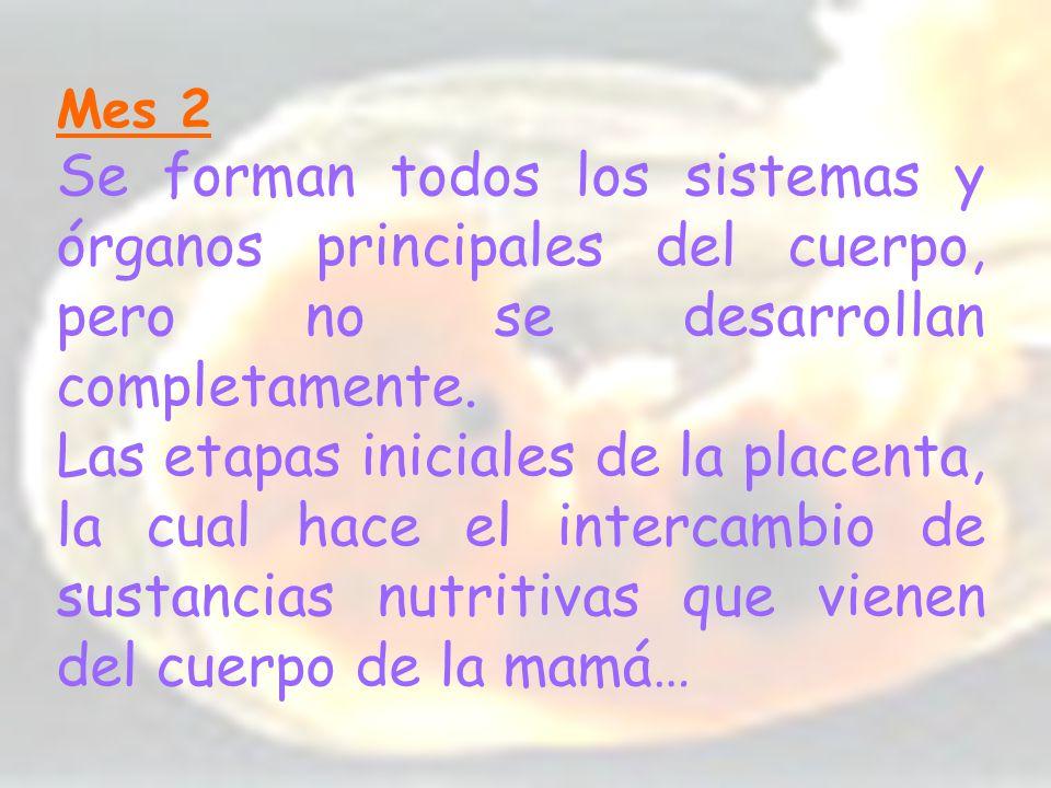 Mes 2 Se forman todos los sistemas y órganos principales del cuerpo, pero no se desarrollan completamente. Las etapas iniciales de la placenta, la cua