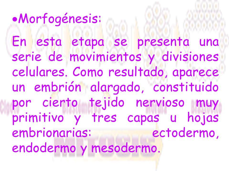 Morfogénesis: En esta etapa se presenta una serie de movimientos y divisiones celulares. Como resultado, aparece un embrión alargado, constituido por