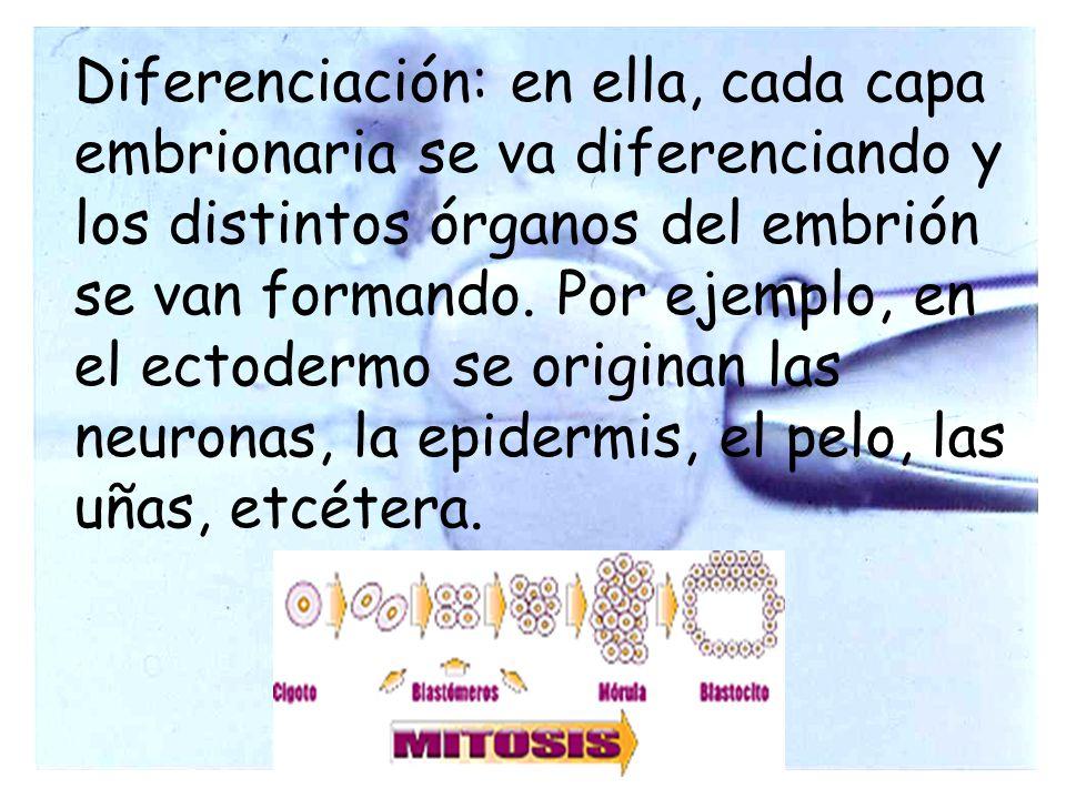 Diferenciación: en ella, cada capa embrionaria se va diferenciando y los distintos órganos del embrión se van formando. Por ejemplo, en el ectodermo s