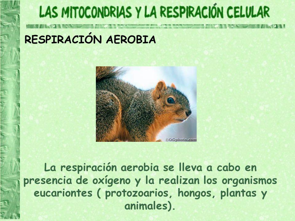 RESPIRACIÓN AEROBIA La respiración aerobia se lleva a cabo en presencia de oxígeno y la realizan los organismos eucariontes ( protozoarios, hongos, pl