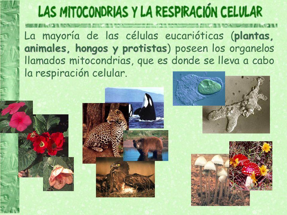 plantas, animales, hongos y protistas La mayoría de las células eucarióticas (plantas, animales, hongos y protistas) poseen los organelos llamados mit