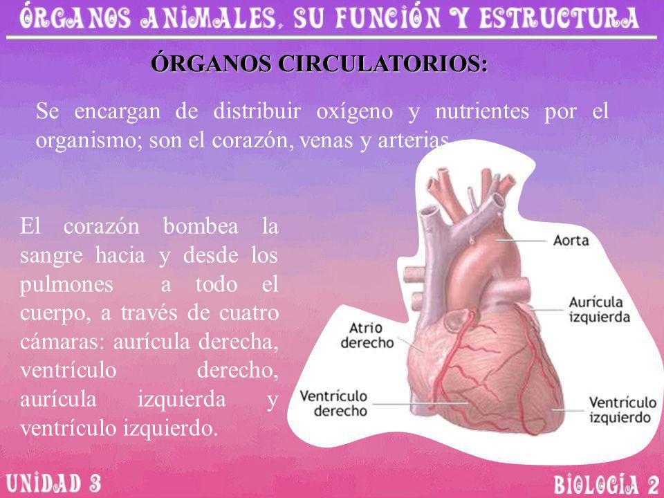 ÓRGANOS CIRCULATORIOS: Se encargan de distribuir oxígeno y nutrientes por el organismo; son el corazón, venas y arterias El corazón bombea la sangre h
