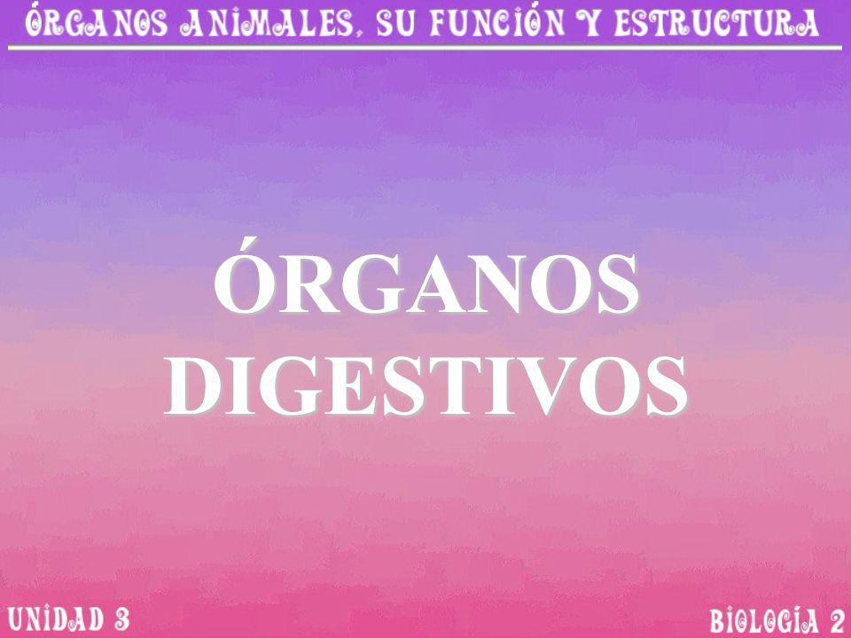 ÓRGANOS DIGESTIVOS