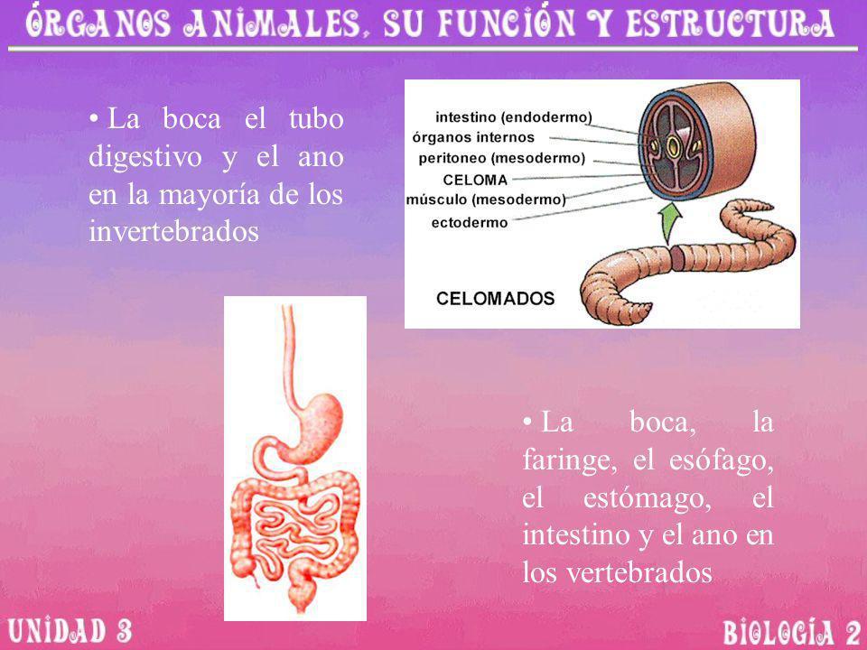 La boca el tubo digestivo y el ano en la mayoría de los invertebrados La boca, la faringe, el esófago, el estómago, el intestino y el ano en los verte