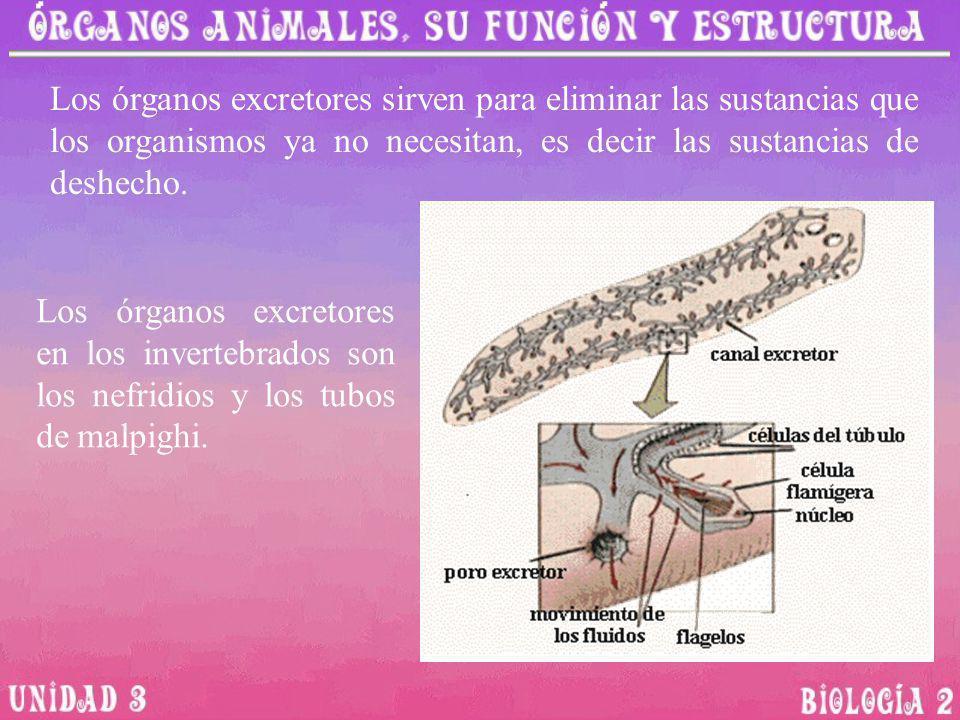 Los órganos excretores sirven para eliminar las sustancias que los organismos ya no necesitan, es decir las sustancias de deshecho. Los órganos excret