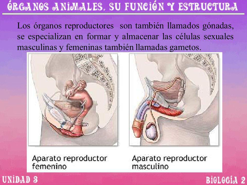 Los órganos reproductores son también llamados gónadas, se especializan en formar y almacenar las células sexuales masculinas y femeninas también llam