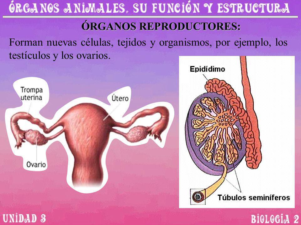 ÓRGANOS REPRODUCTORES: Forman nuevas células, tejidos y organismos, por ejemplo, los testículos y los ovarios.