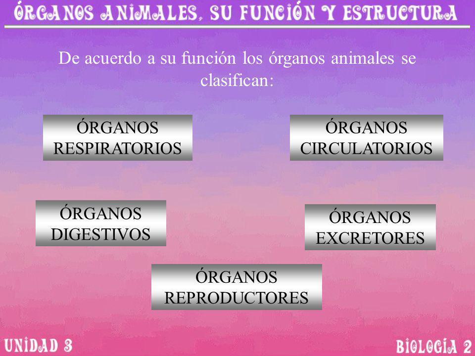 De acuerdo a su función los órganos animales se clasifican: ÓRGANOS RESPIRATORIOS ÓRGANOS CIRCULATORIOS ÓRGANOS DIGESTIVOS ÓRGANOS EXCRETORES ÓRGANOS