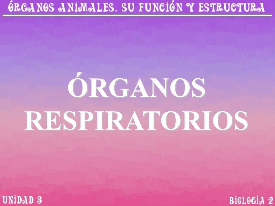 La función de los órganos respiratorios consiste en captar y distribuir oxígeno Los mamíferos, reptiles y anfibios tiene respiración pulmonar.