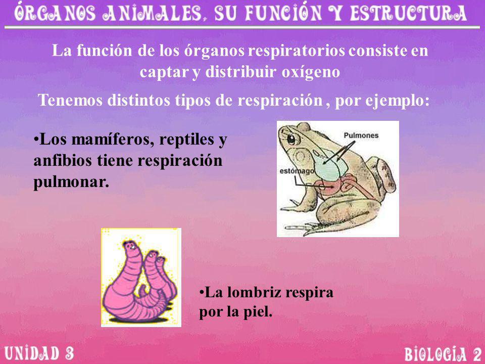 La función de los órganos respiratorios consiste en captar y distribuir oxígeno Los mamíferos, reptiles y anfibios tiene respiración pulmonar. Tenemos