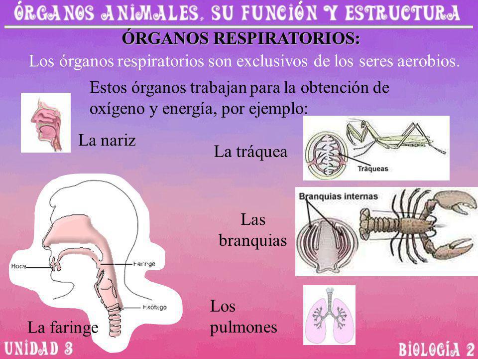 Los órganos respiratorios son exclusivos de los seres aerobios. ÓRGANOS RESPIRATORIOS: Estos órganos trabajan para la obtención de oxígeno y energía,