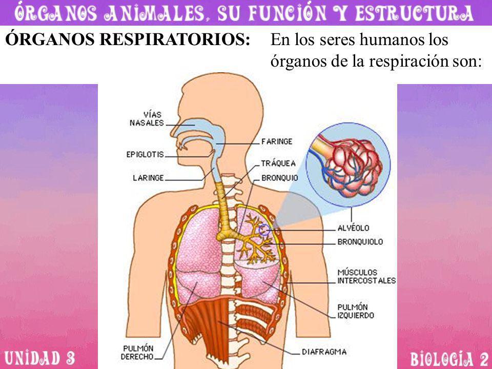 ÓRGANOS RESPIRATORIOS:En los seres humanos los órganos de la respiración son: