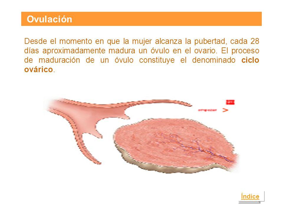 Ovulación Índice Desde el momento en que la mujer alcanza la pubertad, cada 28 días aproximadamente madura un óvulo en el ovario.