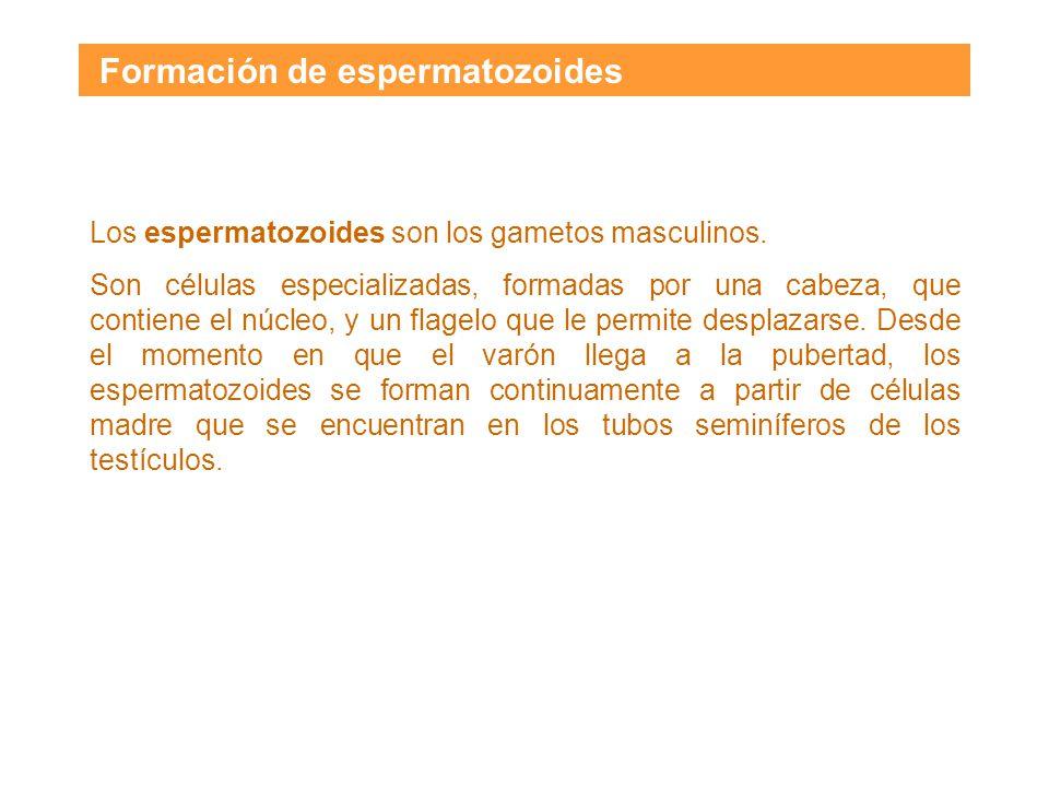 Formación de espermatozoides Los espermatozoides son los gametos masculinos.