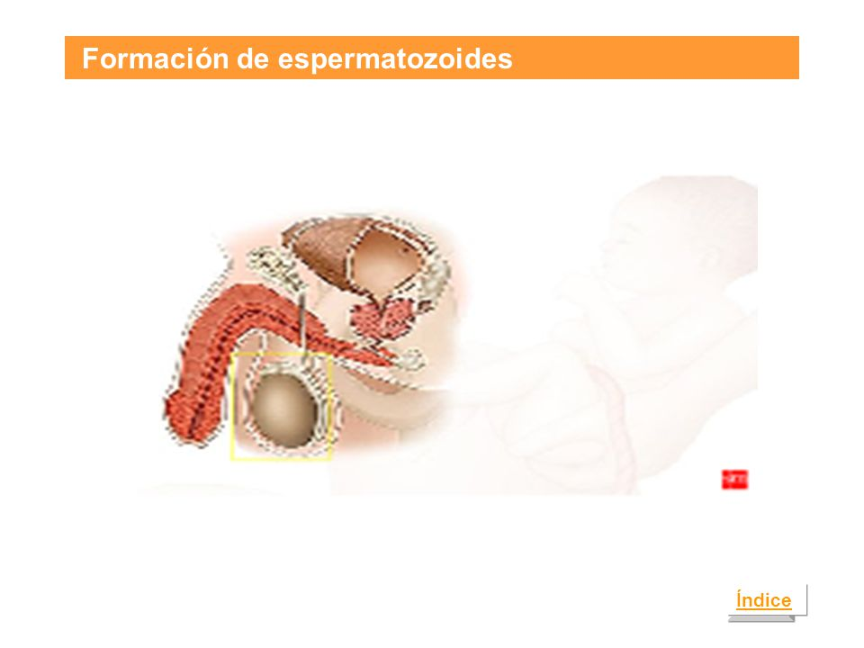 Formación de espermatozoides Índice
