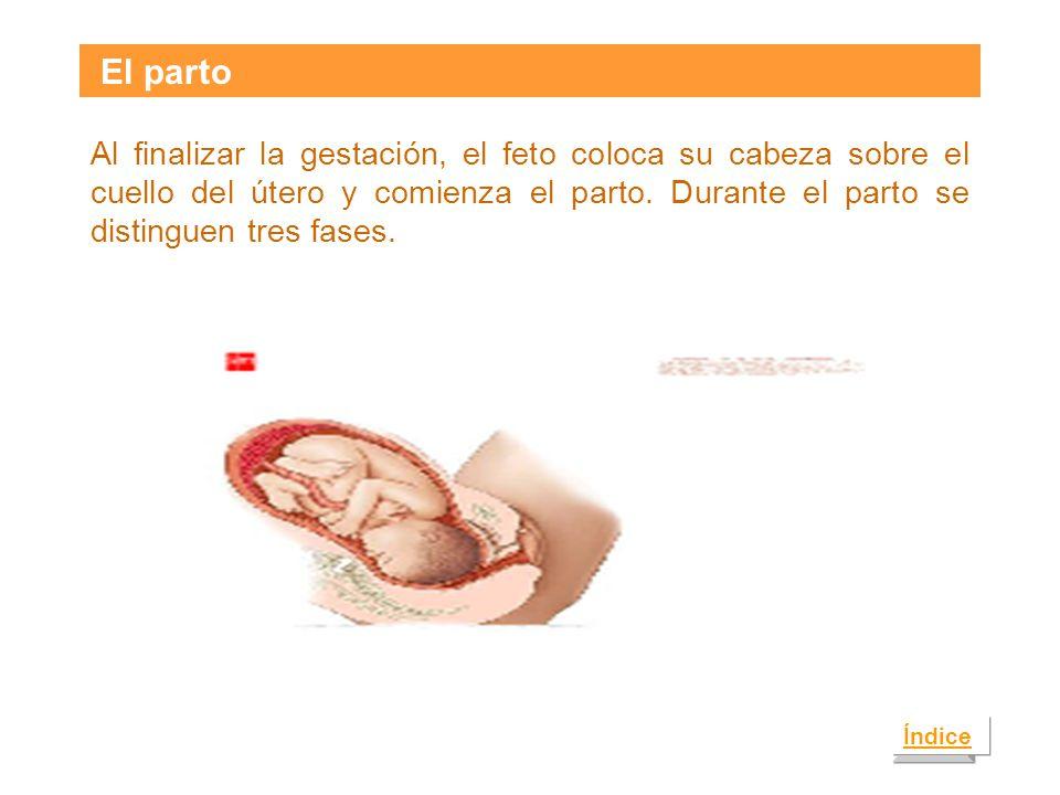 El parto Al finalizar la gestación, el feto coloca su cabeza sobre el cuello del útero y comienza el parto.
