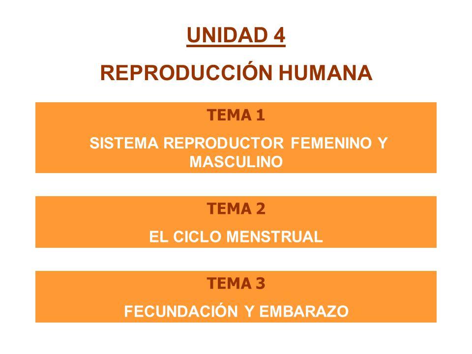 UNIDAD 4 REPRODUCCIÓN HUMANA TEMA 1 SISTEMA REPRODUCTOR FEMENINO Y MASCULINO TEMA 2 EL CICLO MENSTRUAL TEMA 3 FECUNDACIÓN Y EMBARAZO