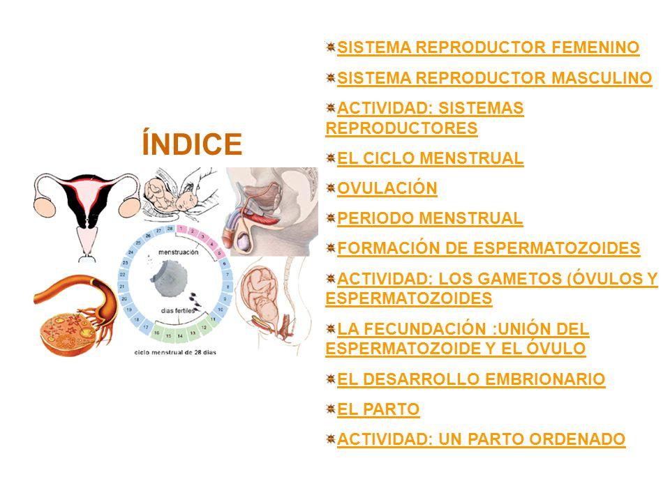 Sistema reproductor femenino El aparato genital femenino se encarga de producir gametos femeninos (óvulos).