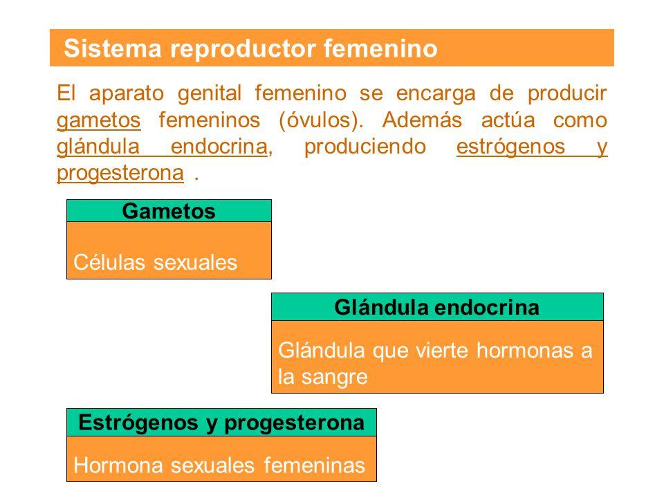 Pulsa sobre las etiquetas para ver la localización y función general de los órganos sexuales femeninos.