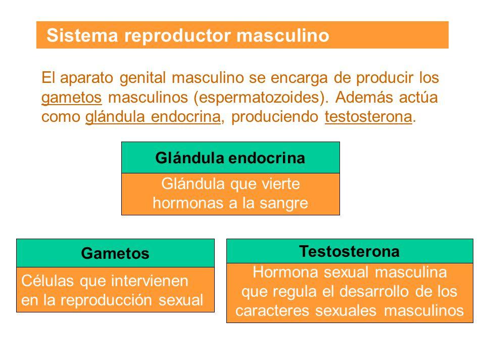 Sistema reproductor masculino El aparato genital masculino se encarga de producir los gametos masculinos (espermatozoides).