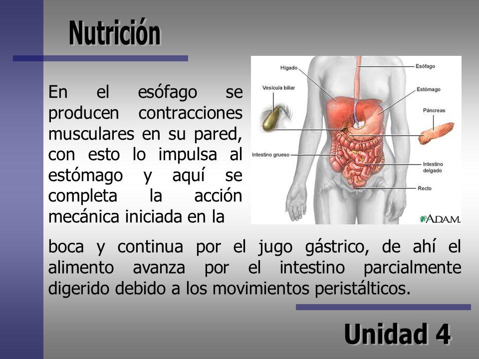 En el esófago se producen contracciones musculares en su pared, con esto lo impulsa al estómago y aquí se completa la acción mecánica iniciada en la b