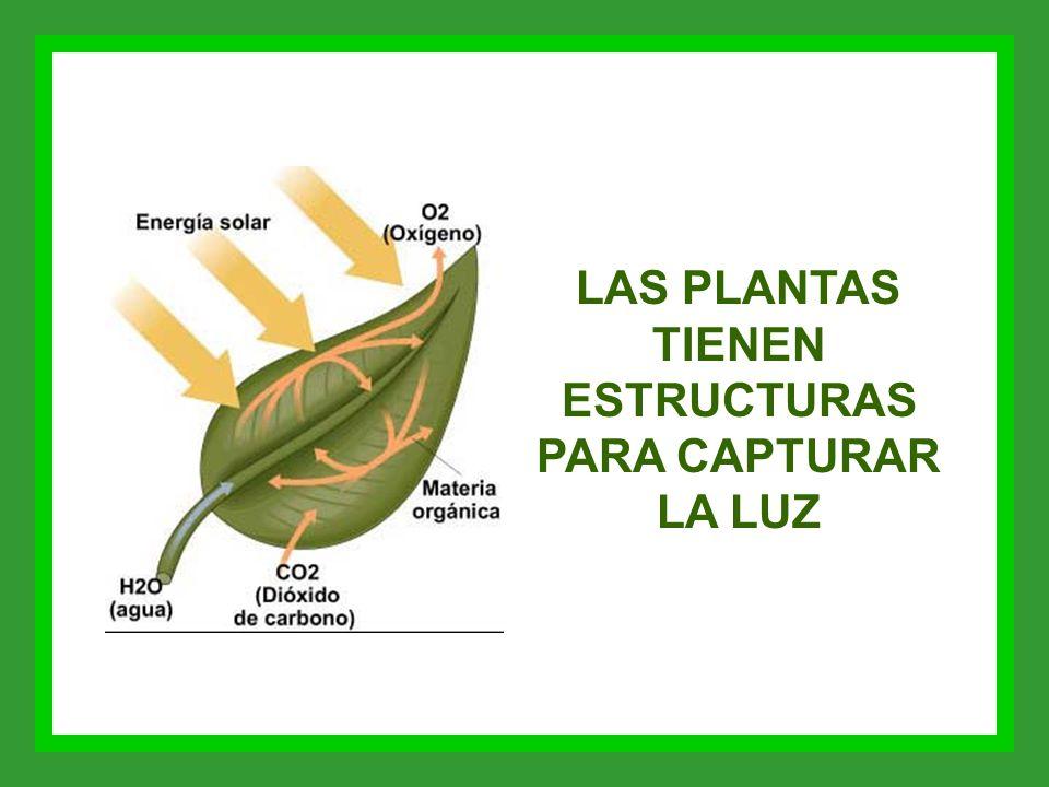 LAS PLANTAS TIENEN ESTRUCTURAS PARA CAPTURAR LA LUZ
