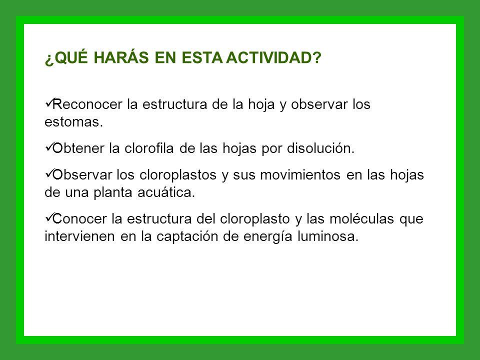 ¿QUÉ HARÁS EN ESTA ACTIVIDAD? Reconocer la estructura de la hoja y observar los estomas. Obtener la clorofila de las hojas por disolución. Observar lo