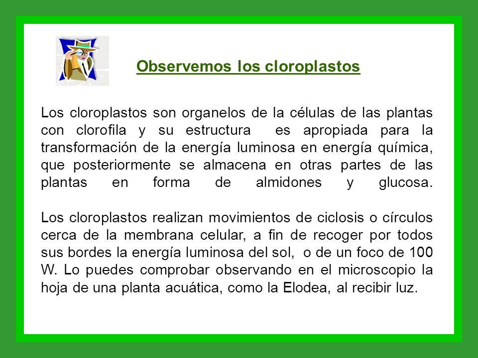 Observemos los cloroplastos Los cloroplastos son organelos de la células de las plantas con clorofila y su estructura es apropiada para la transformac