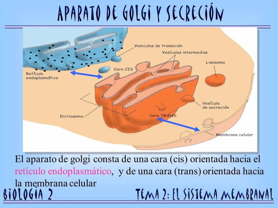 Las proteínas llegan desde el retículo hasta la cara cis, mientras que los productos salen por la cara trans y son transportadas en vesículas a otras partes de la célula o al exterior.