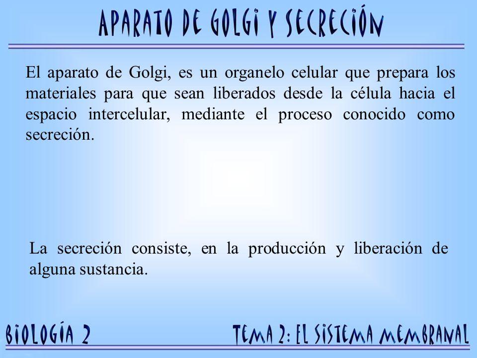 El aparato de Golgi, es un organelo celular que prepara los materiales para que sean liberados desde la célula hacia el espacio intercelular, mediante