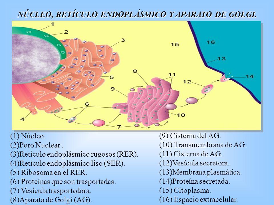 NÚCLEO, RETÍCULO ENDOPLÁSMICO Y APARATO DE GOLGI. (9) Cisterna del AG. (10) Transmembrana de AG. (11) Cisterna de AG. (12)Vesícula secretora. (13)Memb