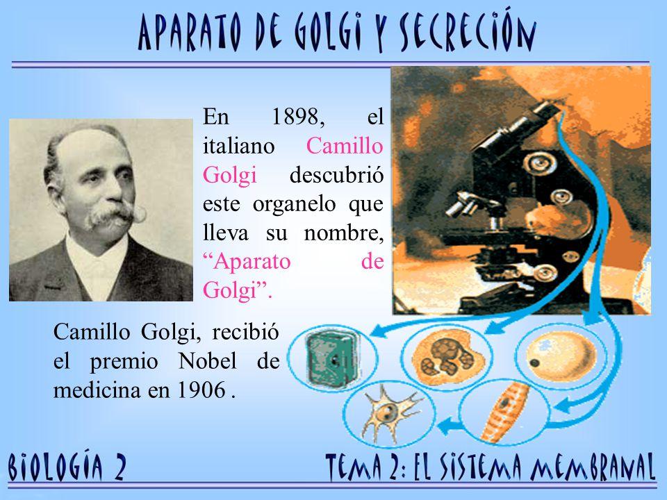 Camillo Golgi, recibió el premio Nobel de medicina en 1906. En 1898, el italiano Camillo Golgi descubrió este organelo que lleva su nombre, Aparato de