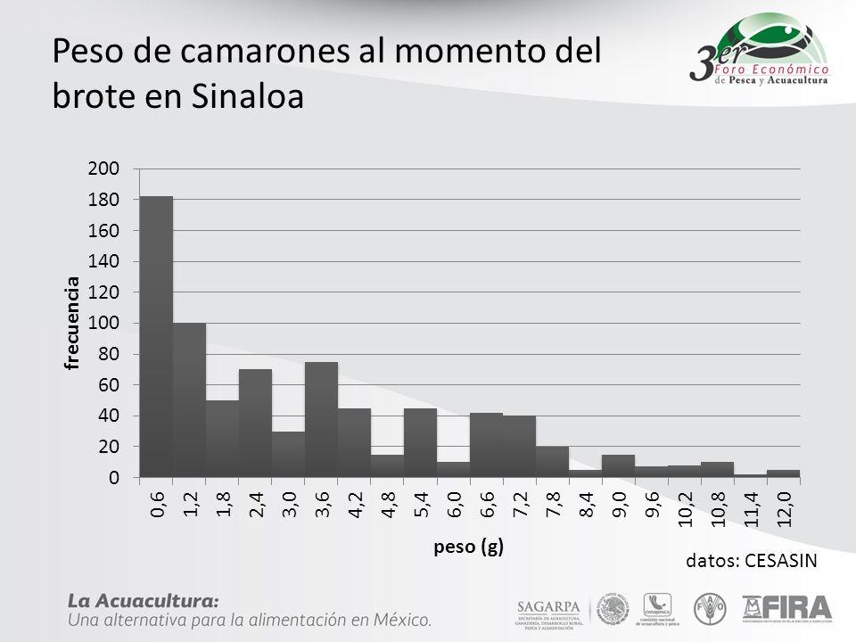 Peso de camarones al momento del brote en Sinaloa datos: CESASIN