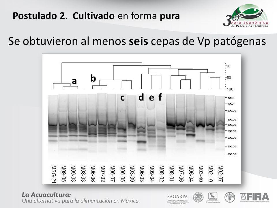 Postulado 2. Cultivado en forma pura a b c def Se obtuvieron al menos seis cepas de Vp patógenas