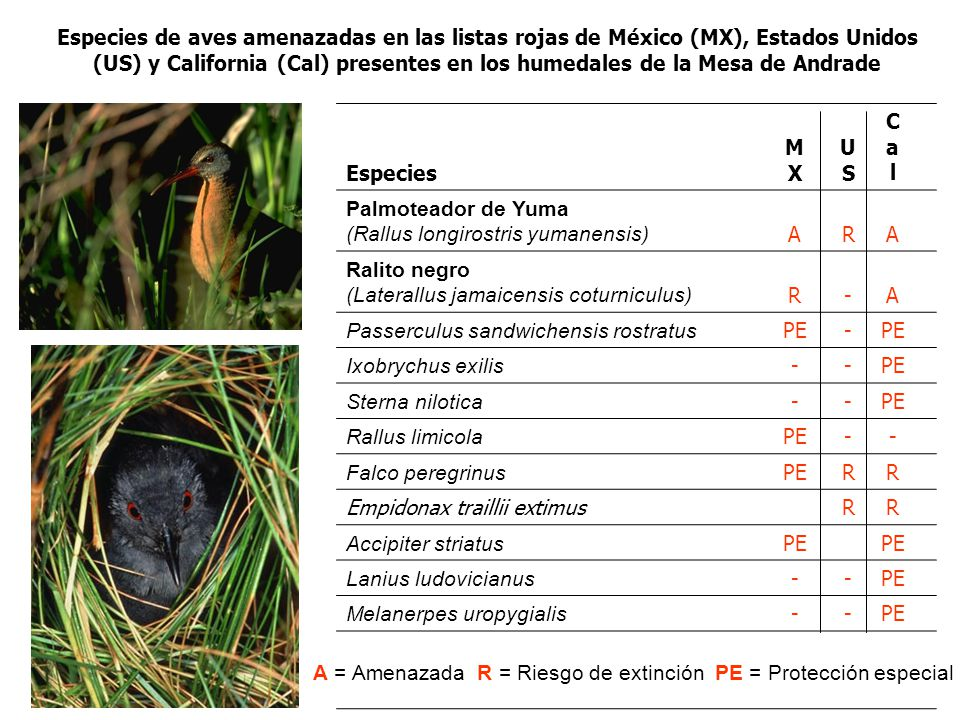 Especies MXMX USUS CalCal Palmoteador de Yuma (Rallus longirostris yumanensis) ARA Ralito negro (Laterallus jamaicensis coturniculus) R-A Passerculus