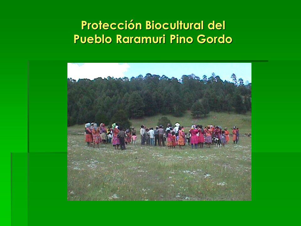 Protección Biocultural del Pueblo Raramuri Pino Gordo