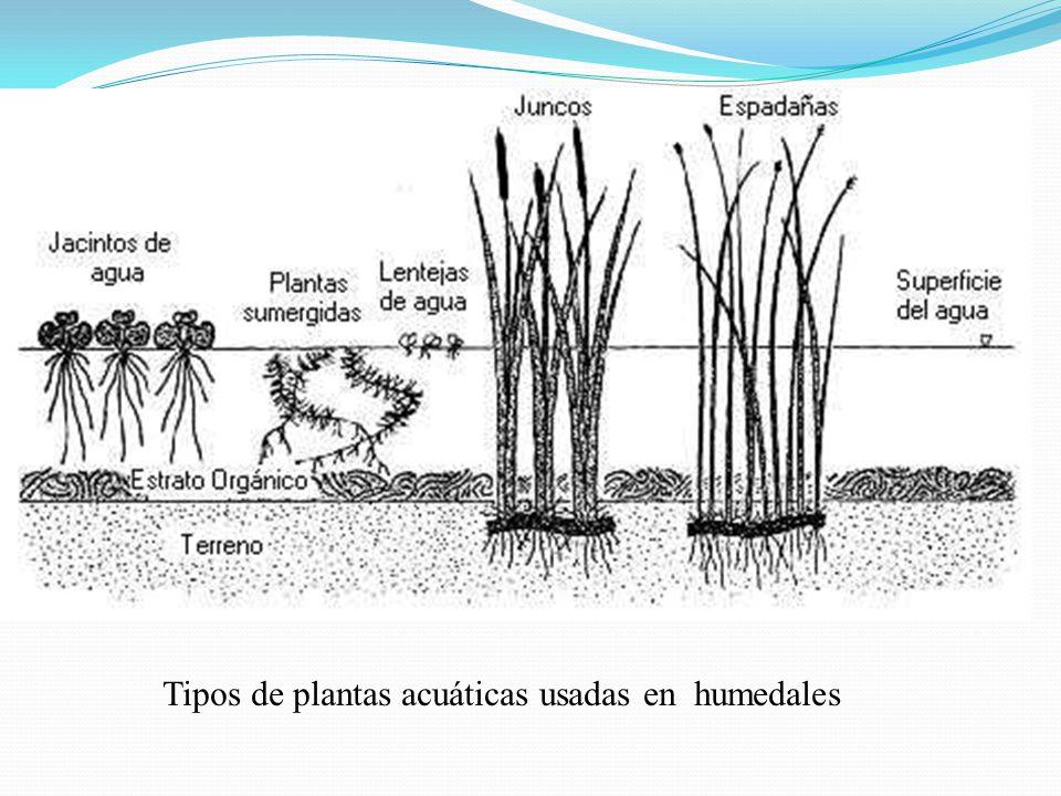 Tipos de plantas acuáticas usadas en humedales