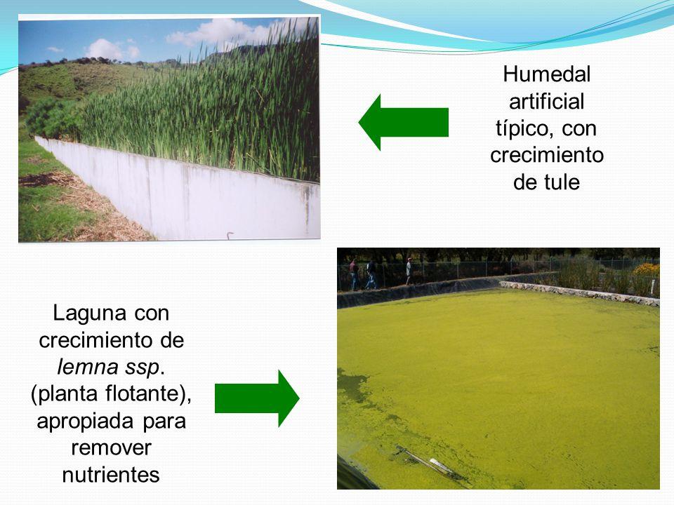 Laguna con crecimiento de lemna ssp. (planta flotante), apropiada para remover nutrientes Humedal artificial típico, con crecimiento de tule