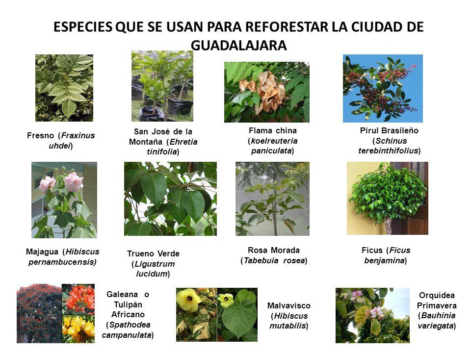 ESPECIES QUE SE USAN PARA REFORESTAR LA CIUDAD DE GUADALAJARA Fresno (Fraxinus uhdei) Majagua (Hibiscus pernambucensis) Flama china (koelreuteria pani
