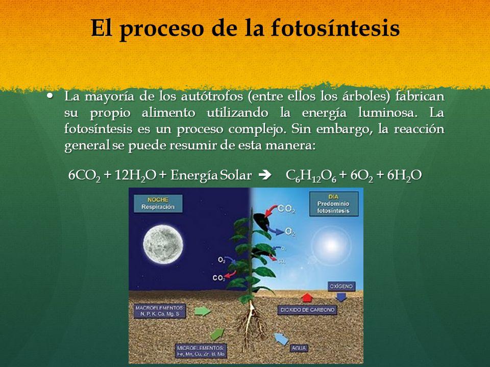 El El proceso de la fotosíntesis La mayoría de los autótrofos (entre ellos los árboles) fabrican su propio alimento utilizando la energía luminosa. La
