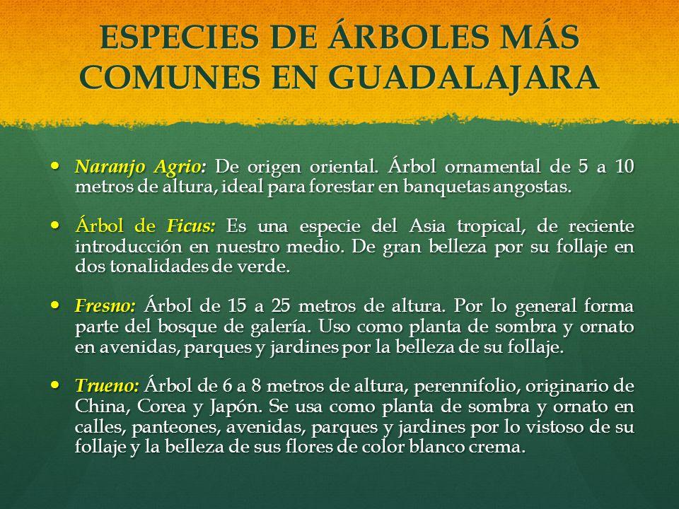 ESPECIES DE ÁRBOLES MÁS COMUNES EN GUADALAJARA Naranjo Agrio: De origen oriental. Árbol ornamental de 5 a 10 metros de altura, ideal para forestar en