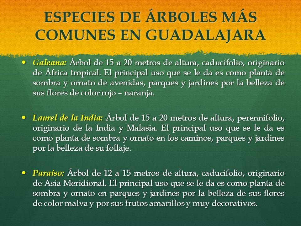 ESPECIES DE ÁRBOLES MÁS COMUNES EN GUADALAJARA Galeana: Árbol de 15 a 20 metros de altura, caducifolio, originario de África tropical. El principal us