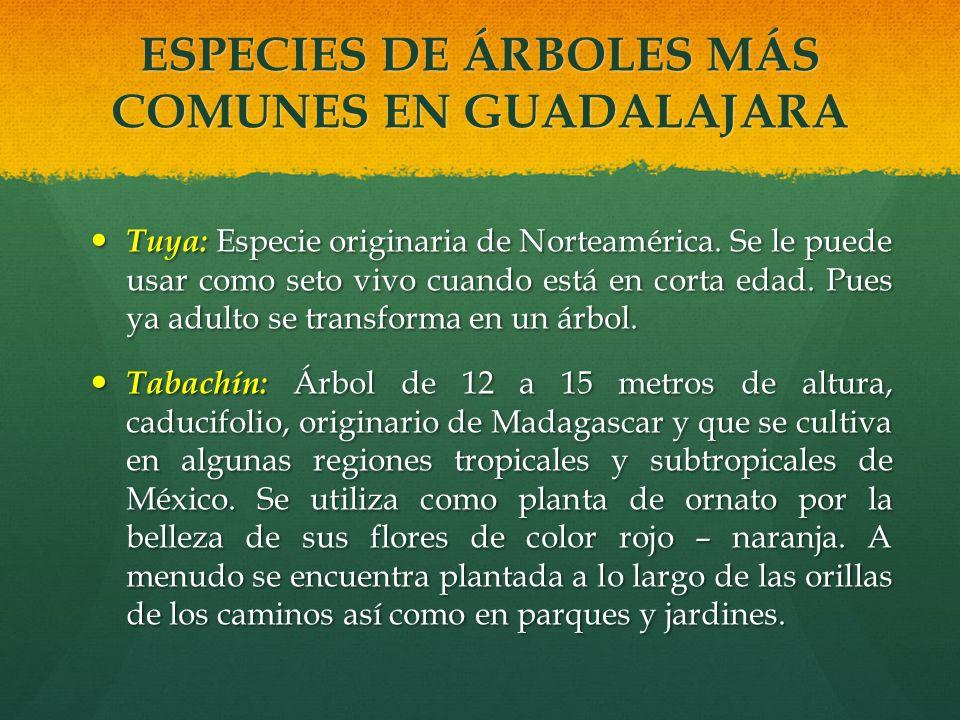 ESPECIES DE ÁRBOLES MÁS COMUNES EN GUADALAJARA Tuya: Especie originaria de Norteamérica. Se le puede usar como seto vivo cuando está en corta edad. Pu