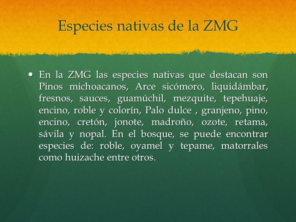 Especies nativas de la ZMG En la ZMG las especies nativas que destacan son Pinos michoacanos, Arce sicómoro, liquidámbar, fresnos, sauces, guamúchil,