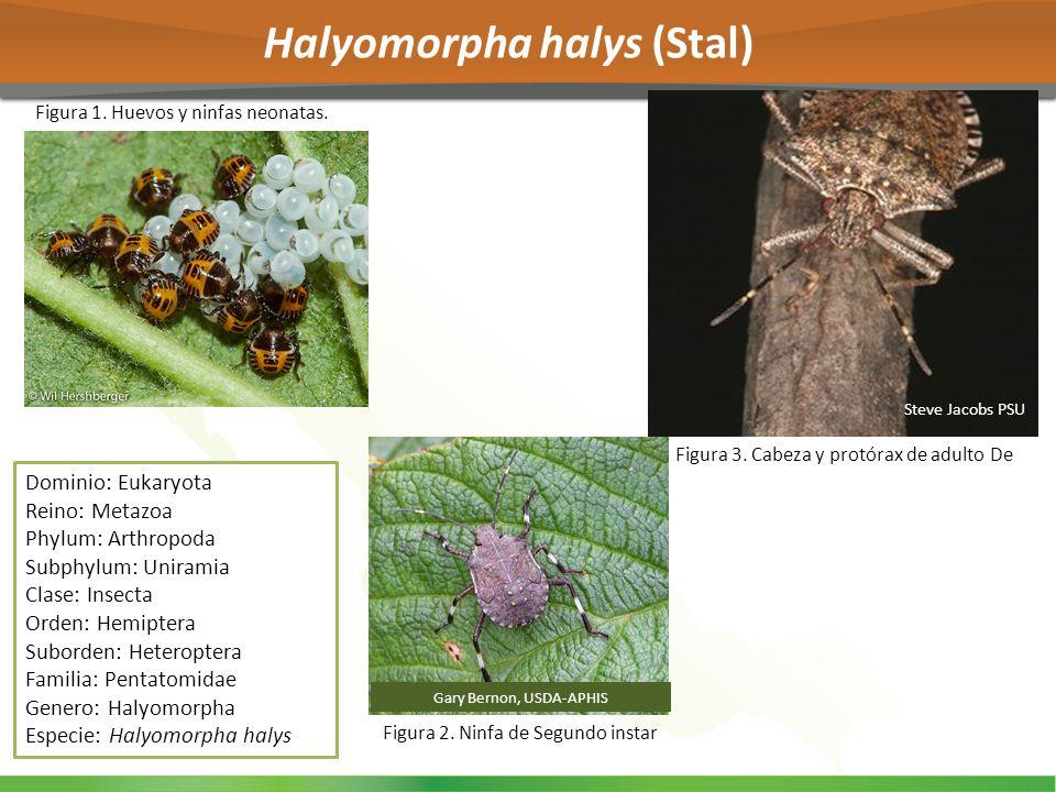 Halyomorpha halys (Stal) Dominio: Eukaryota Reino: Metazoa Phylum: Arthropoda Subphylum: Uniramia Clase: Insecta Orden: Hemiptera Suborden: Heteropter