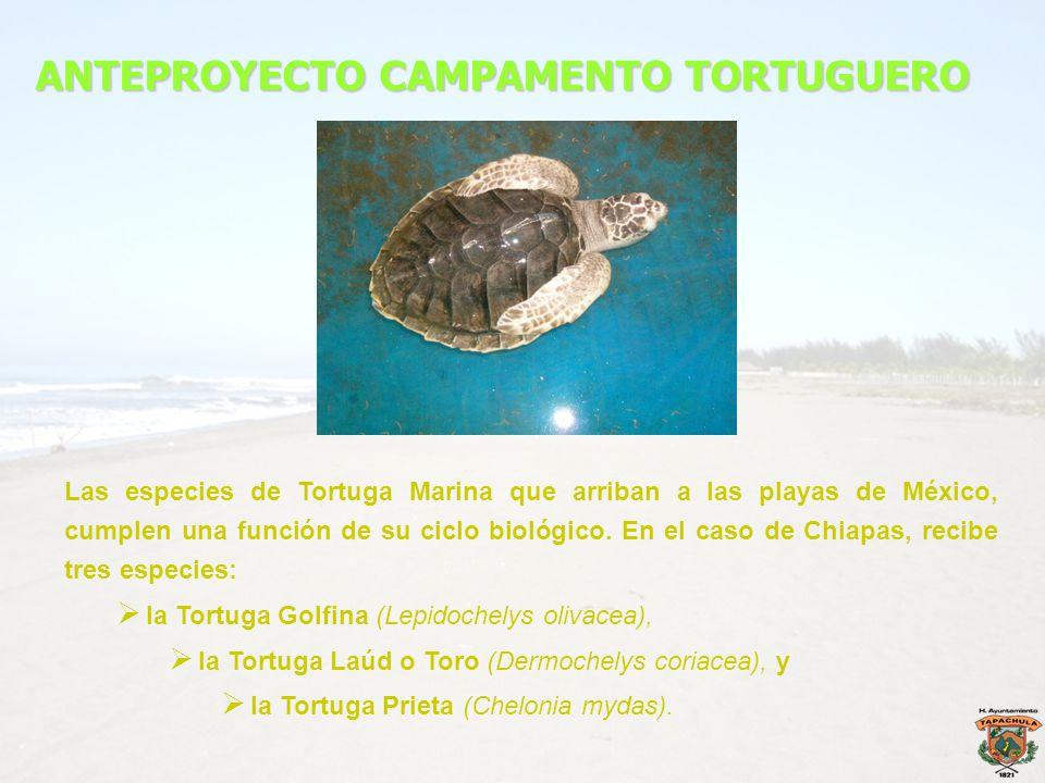 ANTEPROYECTO CAMPAMENTO TORTUGUERO Las especies de Tortuga Marina que arriban a las playas de México, cumplen una función de su ciclo biológico. En el